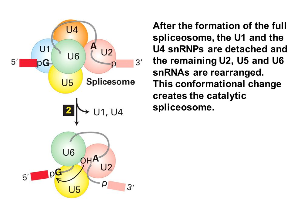 After the formation of the full spliceosome, the U1 and the U4 snRNPs are detached and the remaining U2, U5 and U6 snRNAs are rearranged.