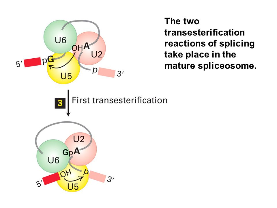 The two transesterification reactions of splicing take place in the mature spliceosome.