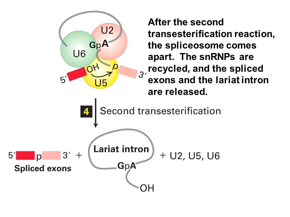 After the second transesterification reaction, the spliceosome comes apart.