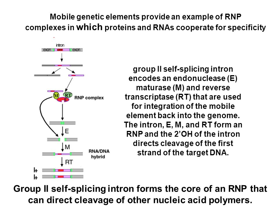 Group II self-splicing intron forms the core of an RNP that
