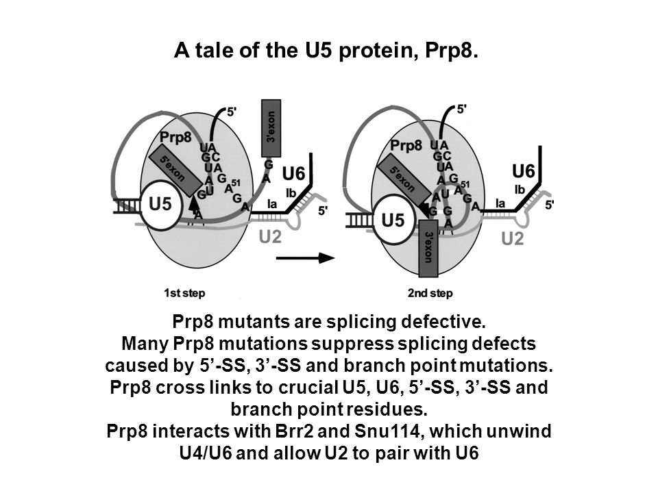 A tale of the U5 protein, Prp8. Prp8 mutants are splicing defective.