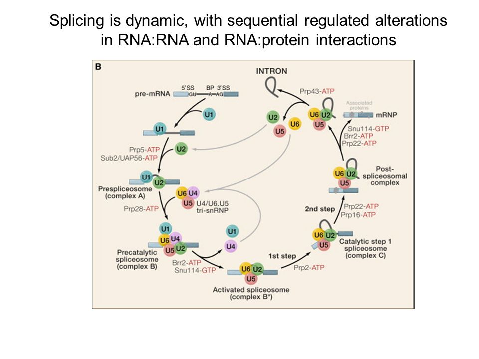 Splicing is dynamic, with sequential regulated alterations
