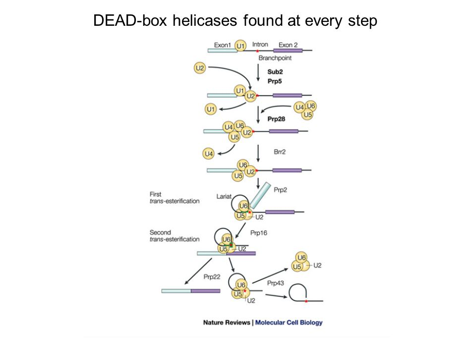 DEAD-box helicases found at every step