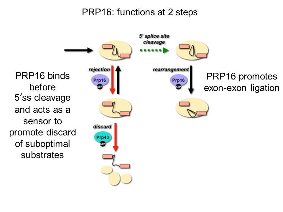 PRP16: functions at 2 steps