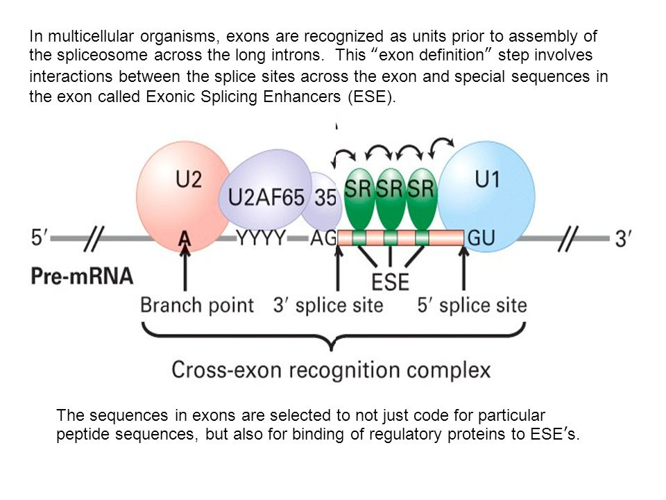 In multicellular organisms, exons are recognized as units prior to assembly of the spliceosome across the long introns. This exon definition step involves interactions between the splice sites across the exon and special sequences in the exon called Exonic Splicing Enhancers (ESE).