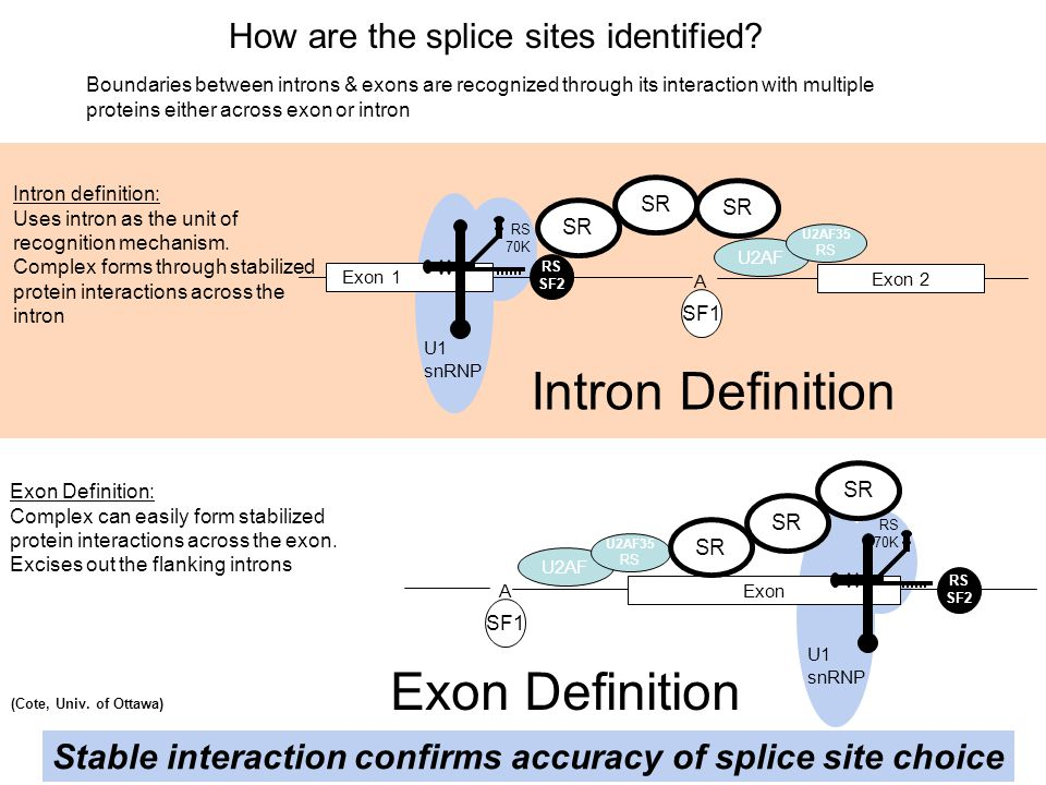 Intron Definition Exon Definition How are the splice sites identified
