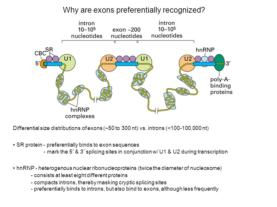 Why are exons preferentially recognized