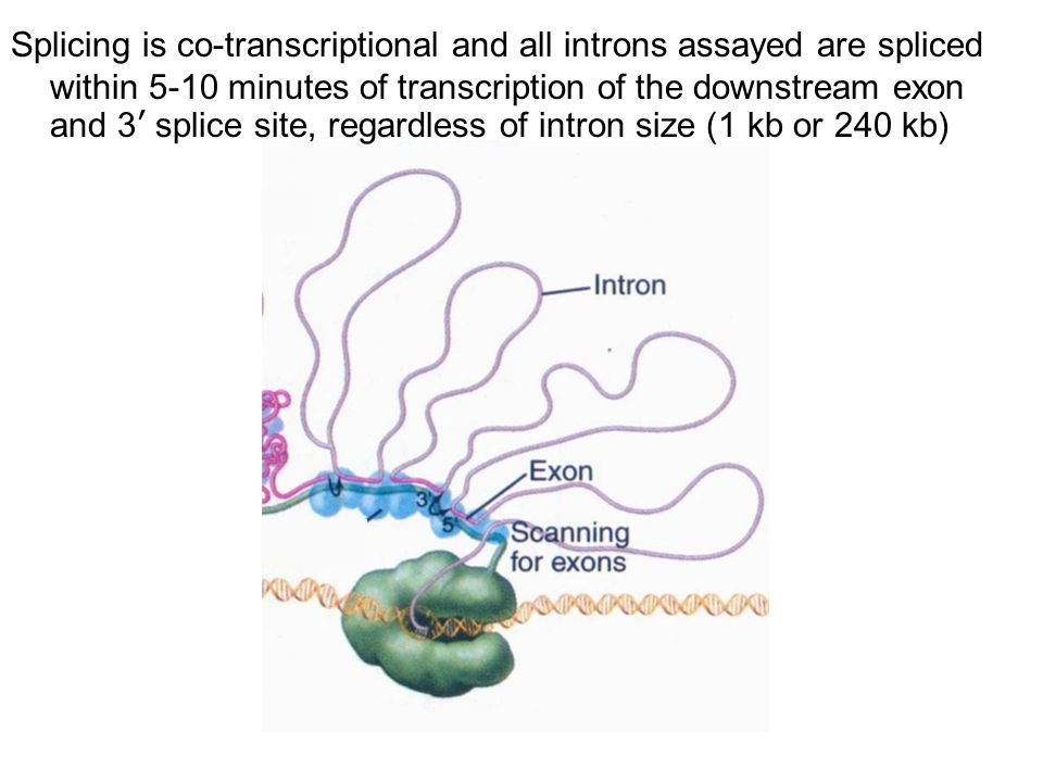 Splicing is co-transcriptional and all introns assayed are spliced within 5-10 minutes of transcription of the downstream exon and 3' splice site, regardless of intron size (1 kb or 240 kb)
