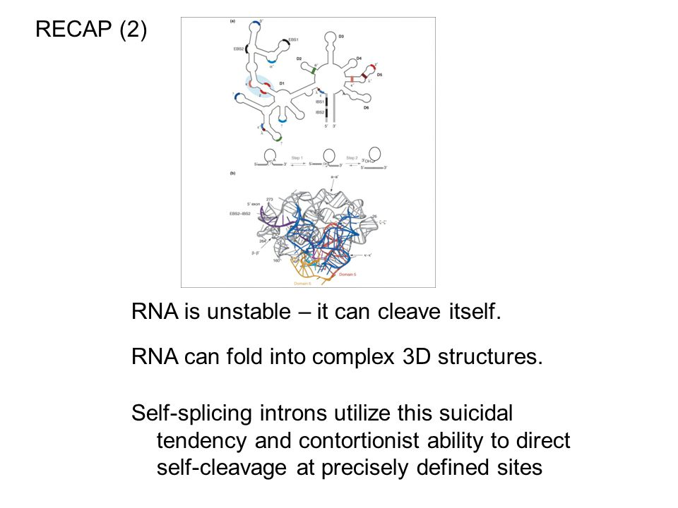 RECAP (2) RNA is unstable – it can cleave itself. RNA can fold into complex 3D structures.