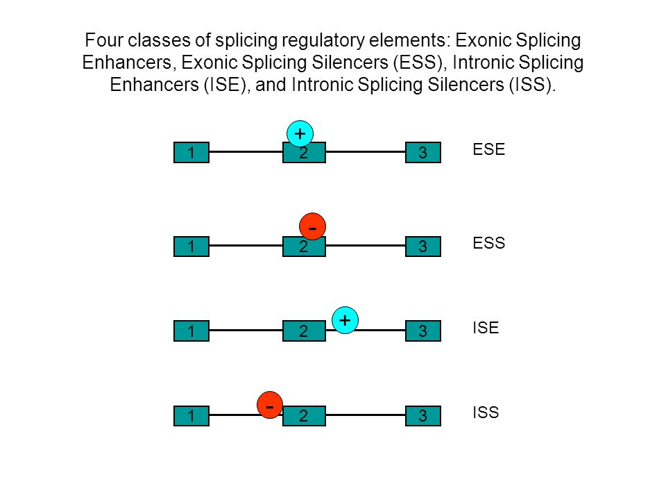 Four classes of splicing regulatory elements: Exonic Splicing Enhancers, Exonic Splicing Silencers (ESS), Intronic Splicing Enhancers (ISE), and Intronic Splicing Silencers (ISS).