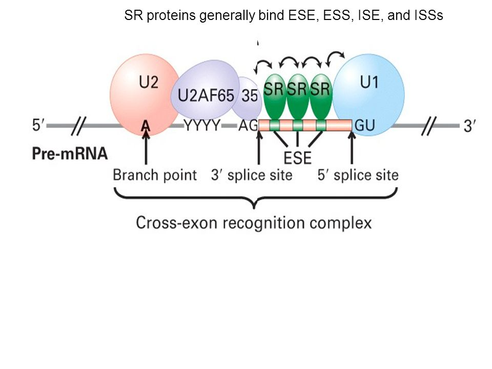 SR proteins generally bind ESE, ESS, ISE, and ISSs