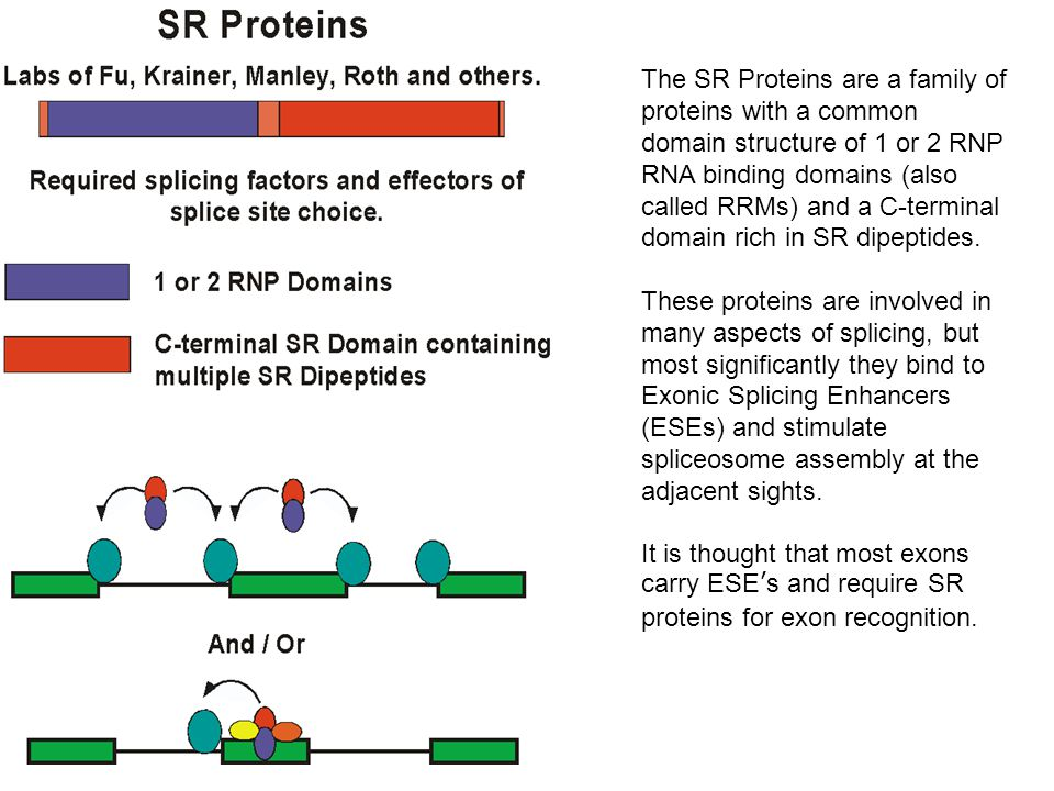 The SR Proteins are a family of proteins with a common domain structure of 1 or 2 RNP RNA binding domains (also called RRMs) and a C-terminal domain rich in SR dipeptides.