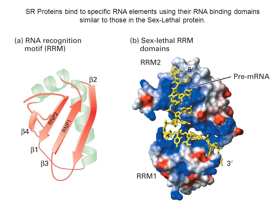 SR Proteins bind to specific RNA elements using their RNA binding domains similar to those in the Sex-Lethal protein.
