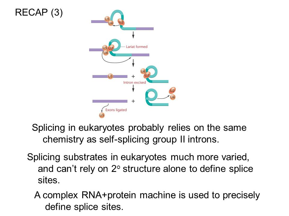 RECAP (3) Splicing in eukaryotes probably relies on the same chemistry as self-splicing group II introns.