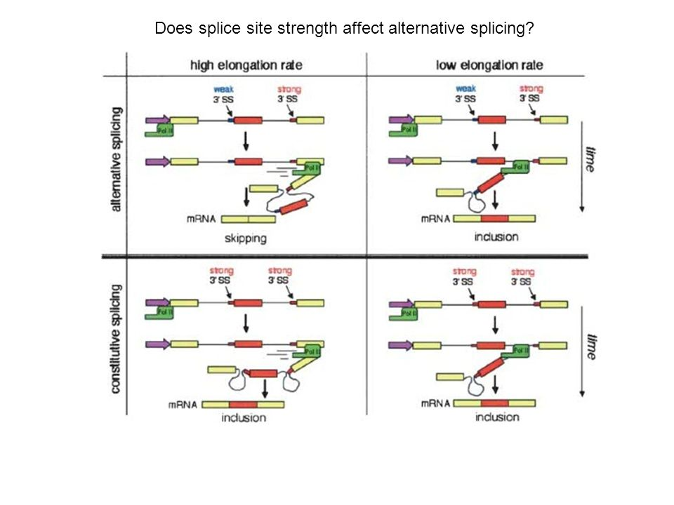 Does splice site strength affect alternative splicing