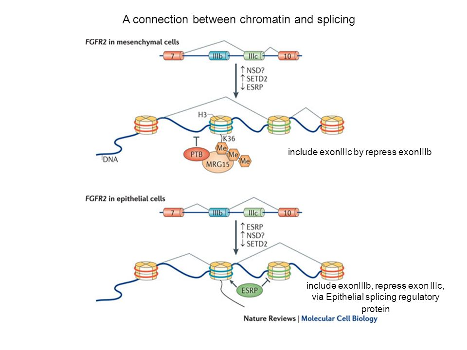 A connection between chromatin and splicing