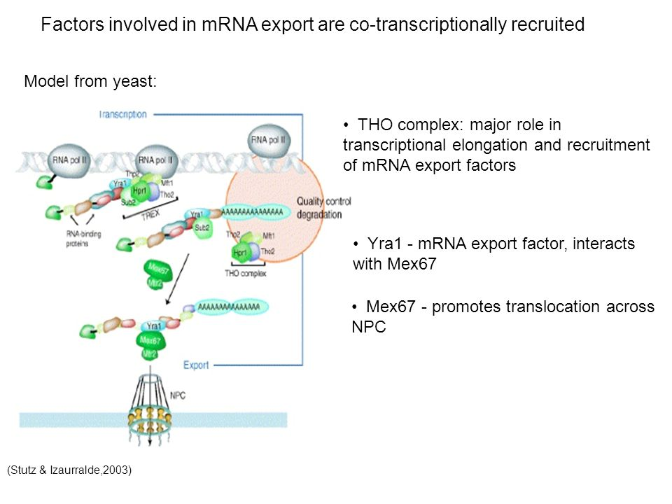 Factors involved in mRNA export are co-transcriptionally recruited