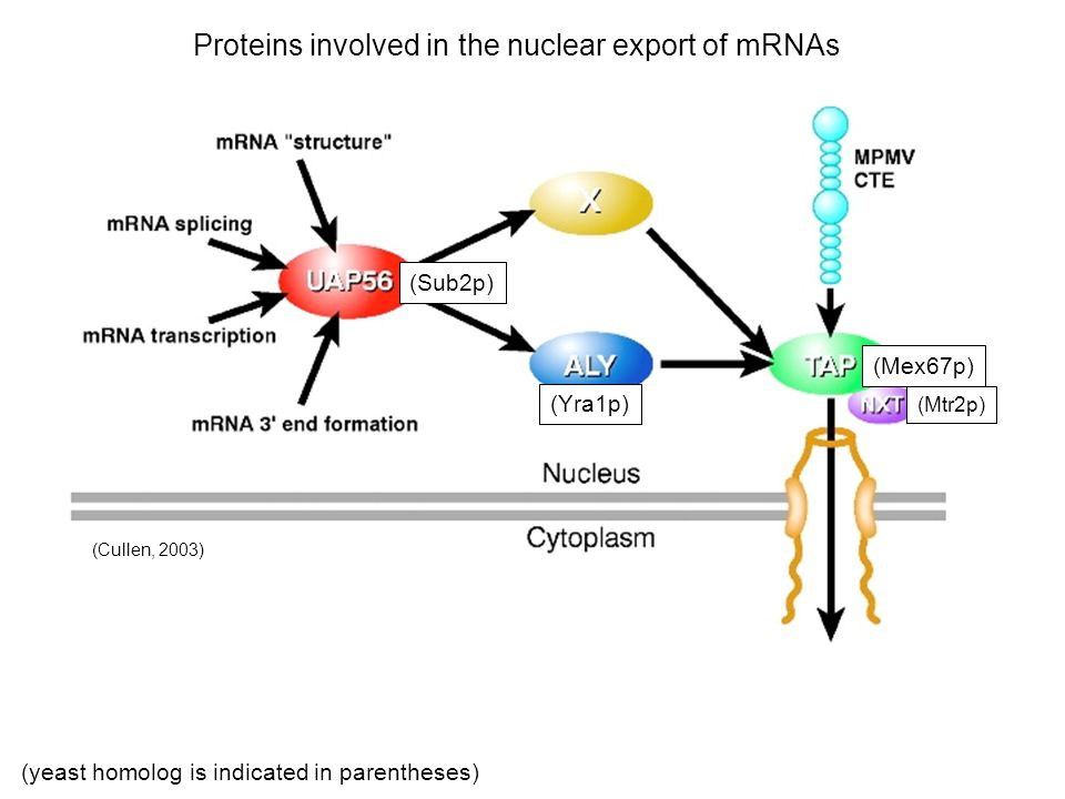 Proteins involved in the nuclear export of mRNAs