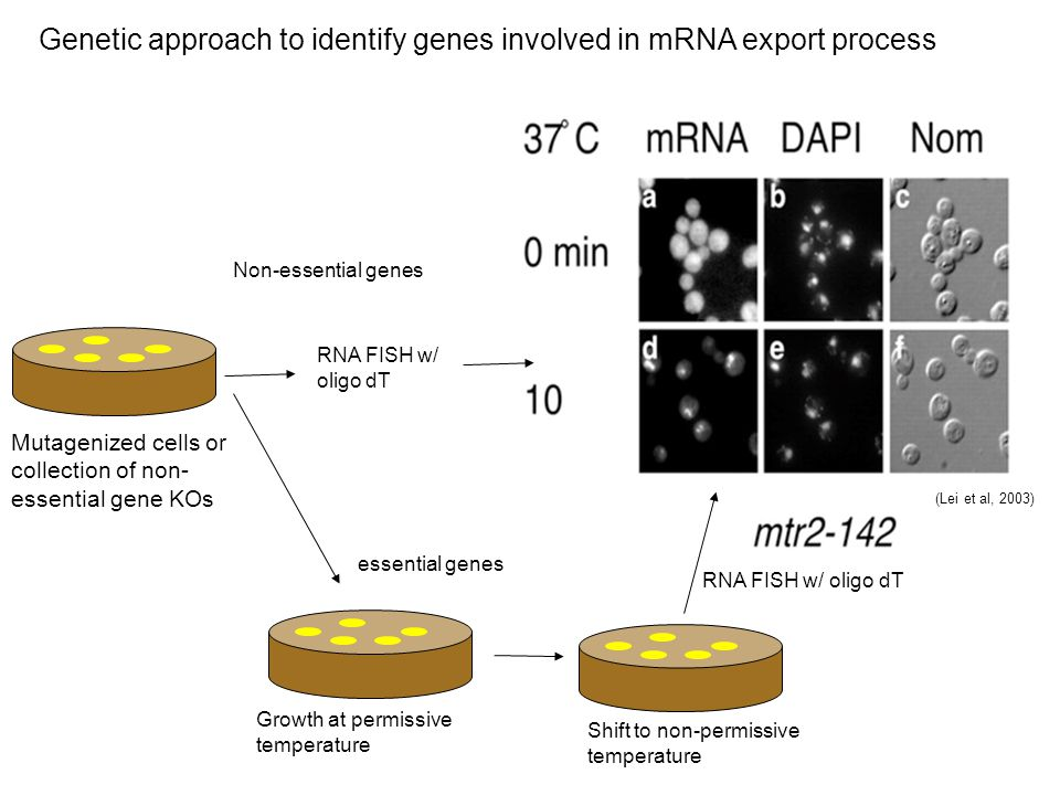 Genetic approach to identify genes involved in mRNA export process