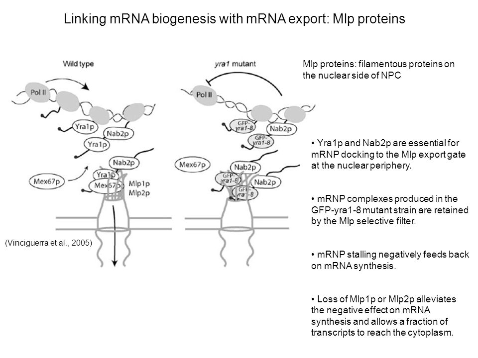 Linking mRNA biogenesis with mRNA export: Mlp proteins