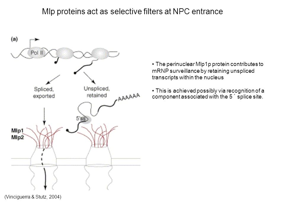 Mlp proteins act as selective filters at NPC entrance