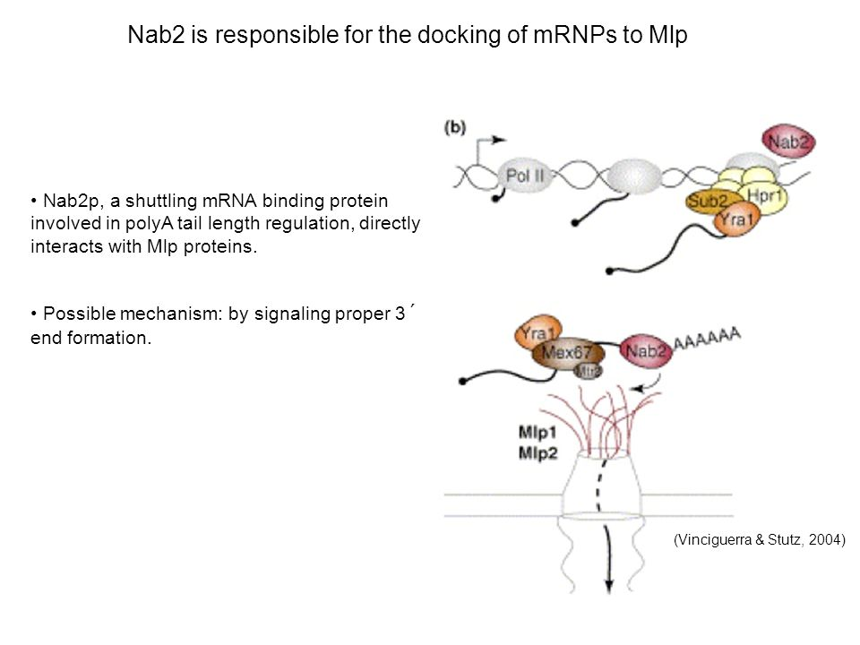Nab2 is responsible for the docking of mRNPs to Mlp