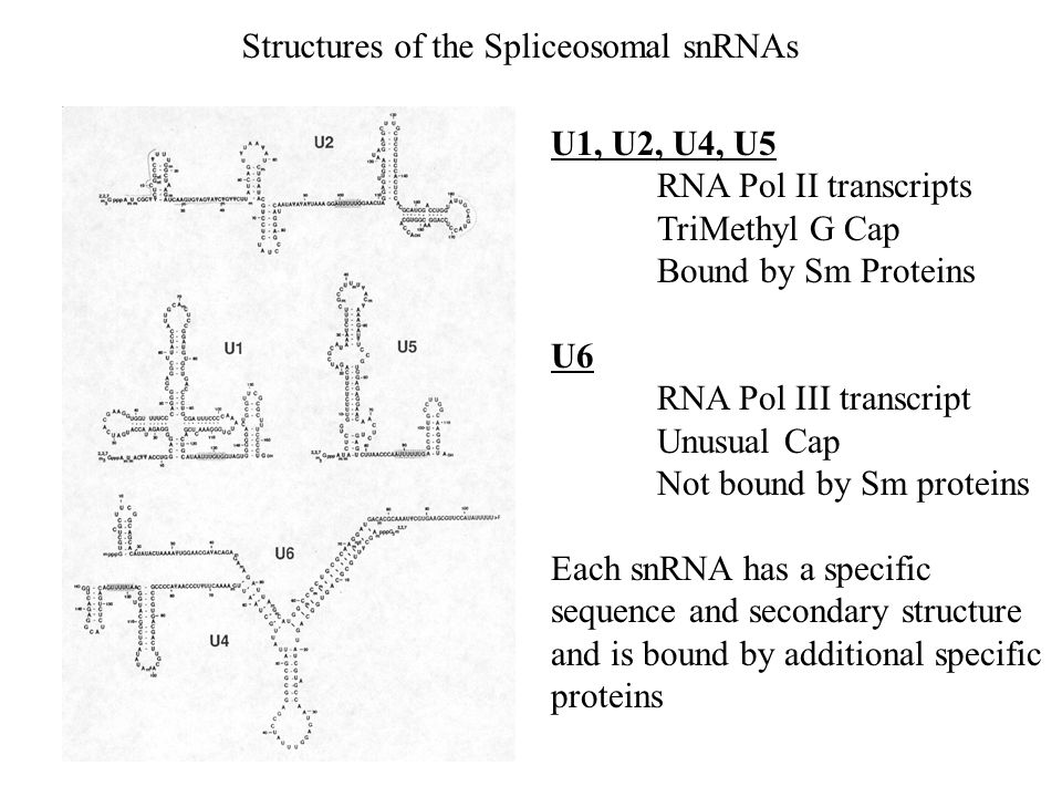 Structures of the Spliceosomal snRNAs