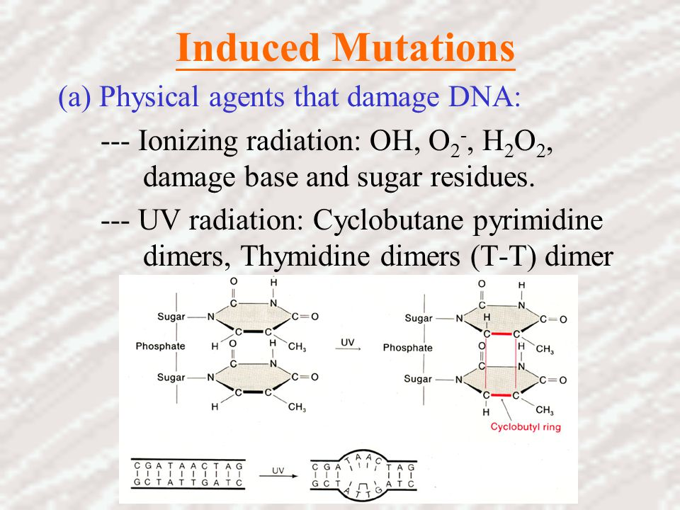 Induced Mutations (a) Physical agents that damage DNA: