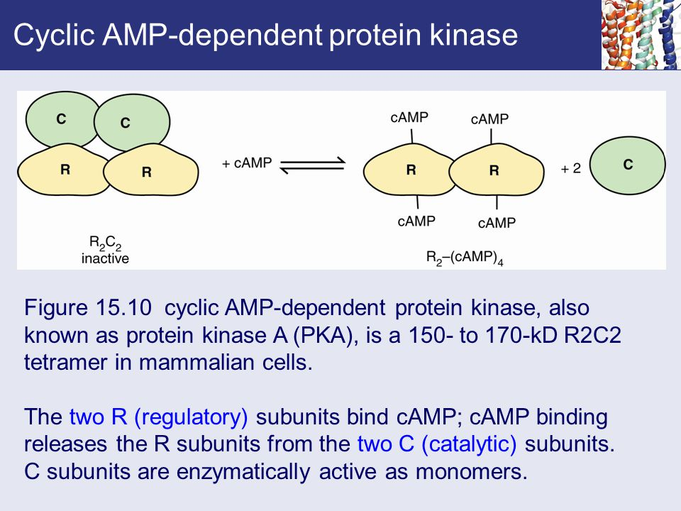 Cyclic AMP-dependent protein kinase