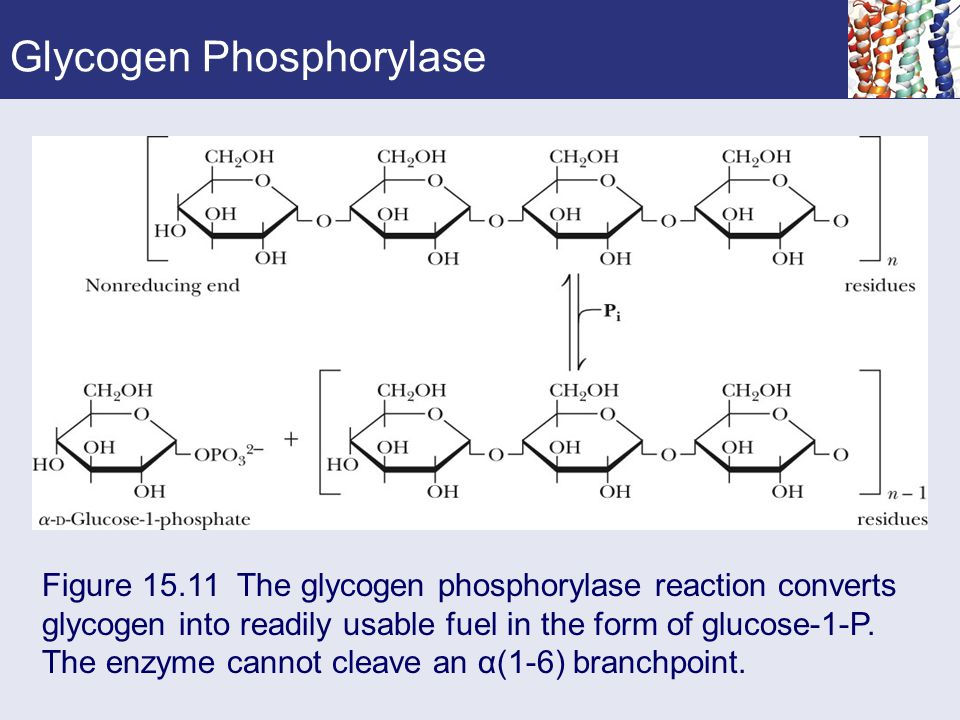 Glycogen Phosphorylase
