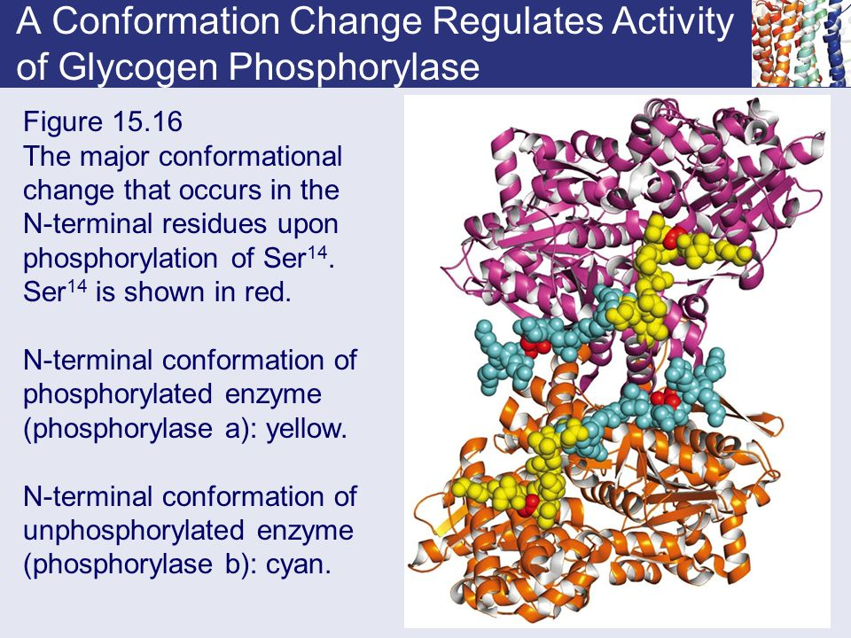 A Conformation Change Regulates Activity of Glycogen Phosphorylase