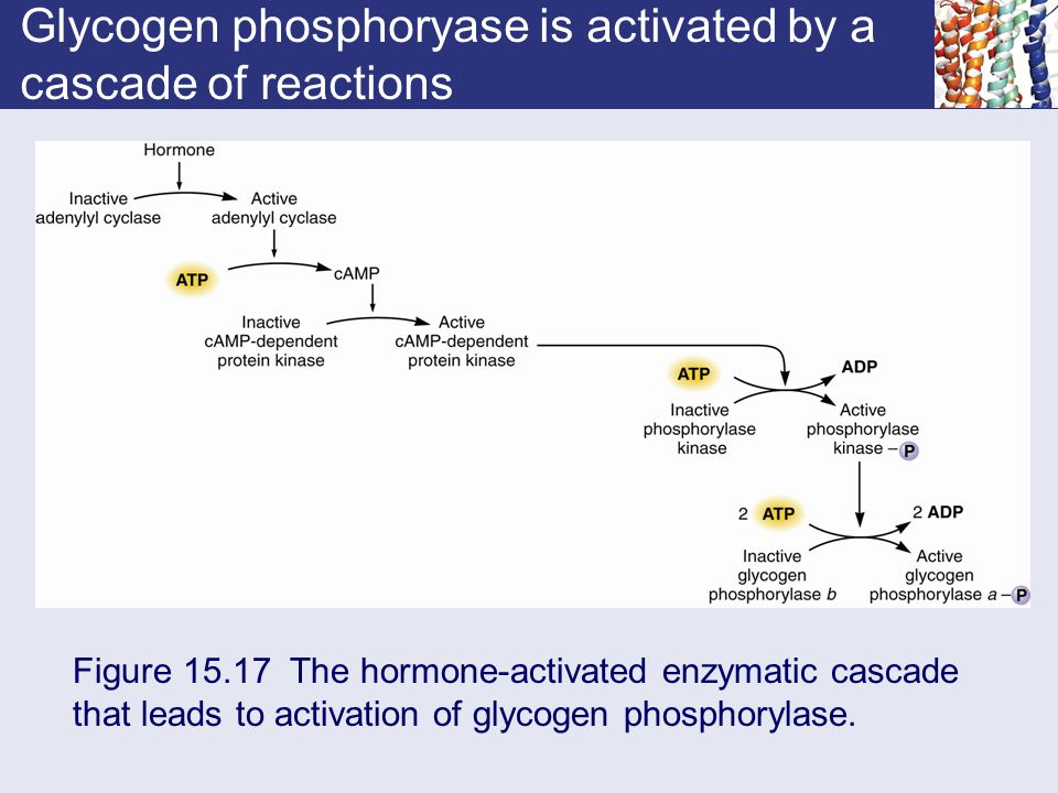 Glycogen phosphoryase is activated by a cascade of reactions