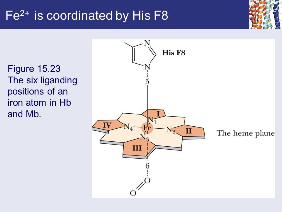 Fe2+ is coordinated by His F8