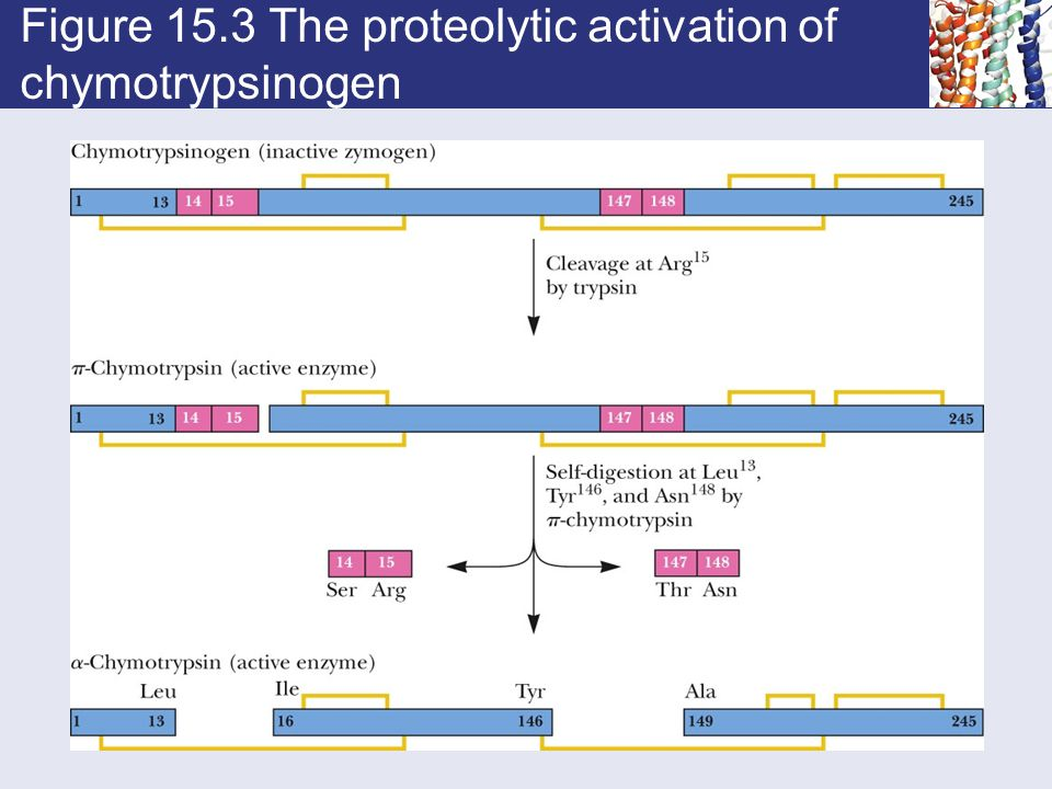 Figure 15.3 The proteolytic activation of chymotrypsinogen