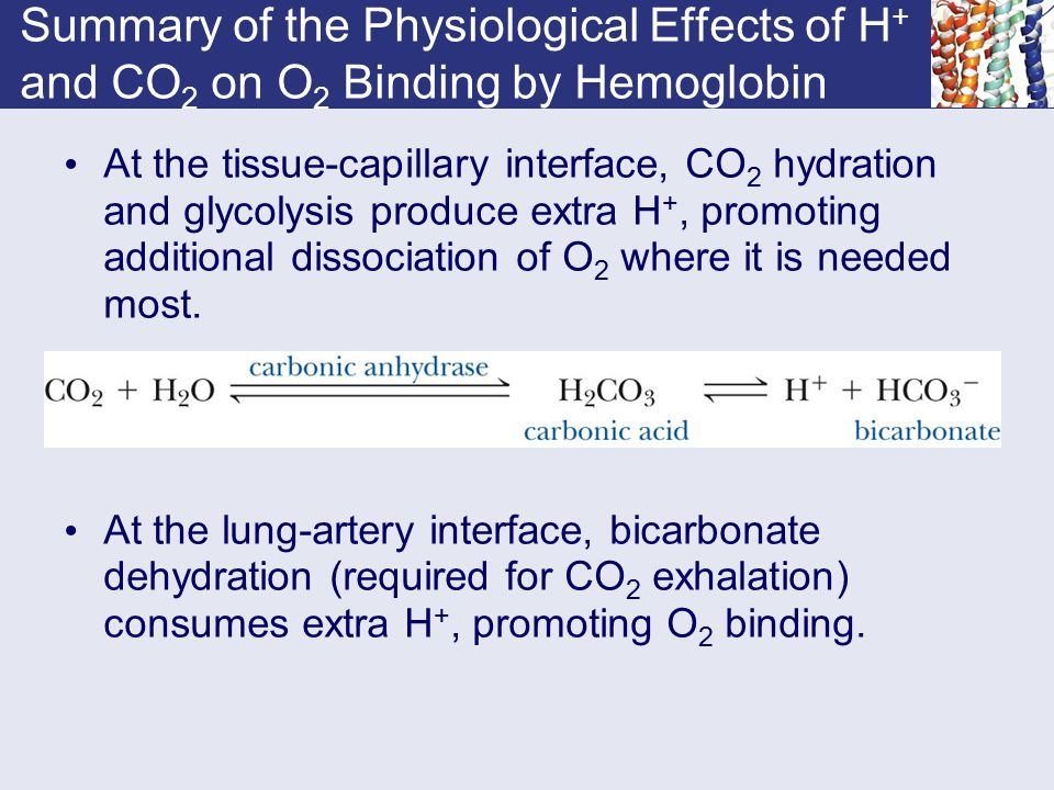 Summary of the Physiological Effects of H+ and CO2 on O2 Binding by Hemoglobin
