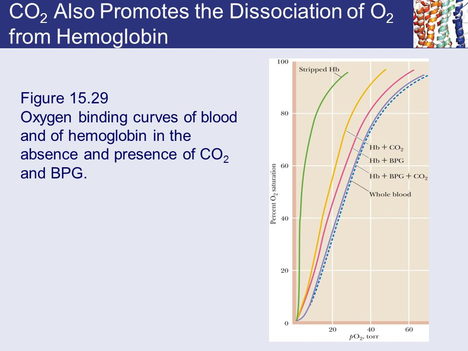CO2 Also Promotes the Dissociation of O2 from Hemoglobin