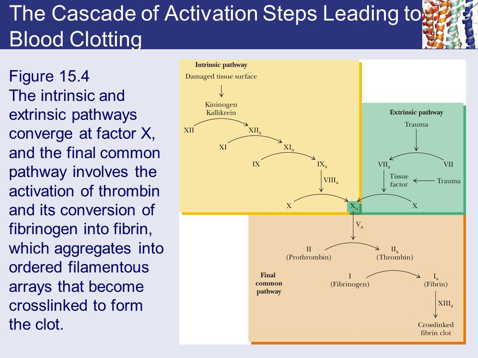 The Cascade of Activation Steps Leading to Blood Clotting