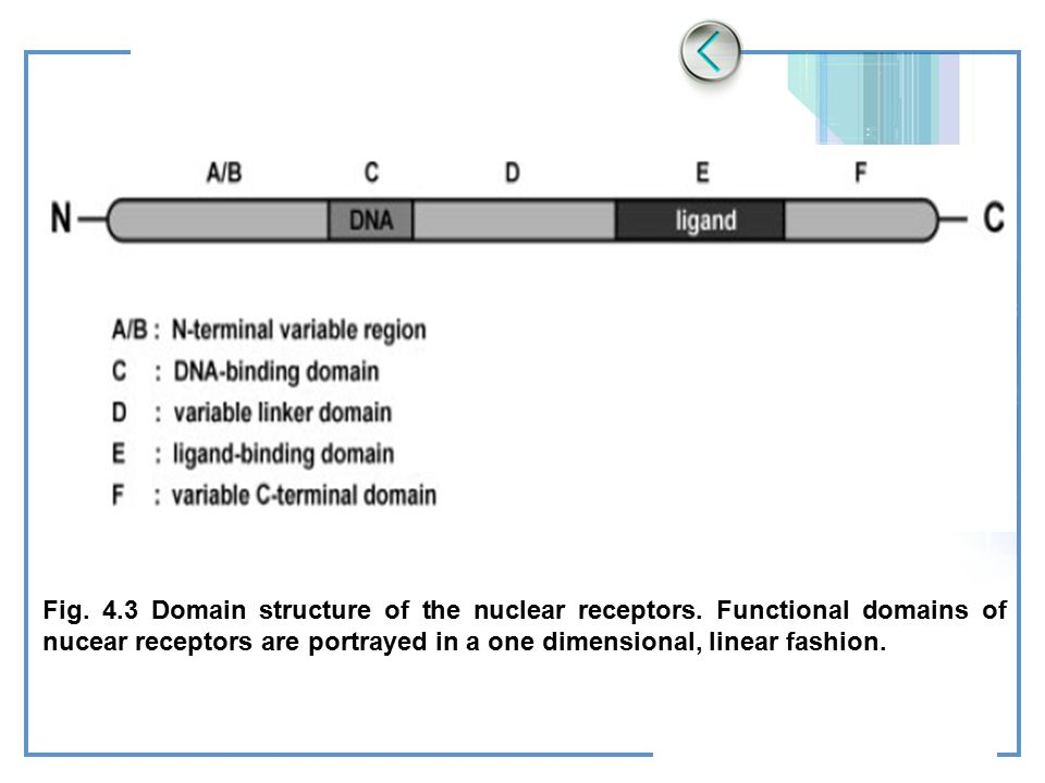Fig. 4. 3 Domain structure of the nuclear receptors