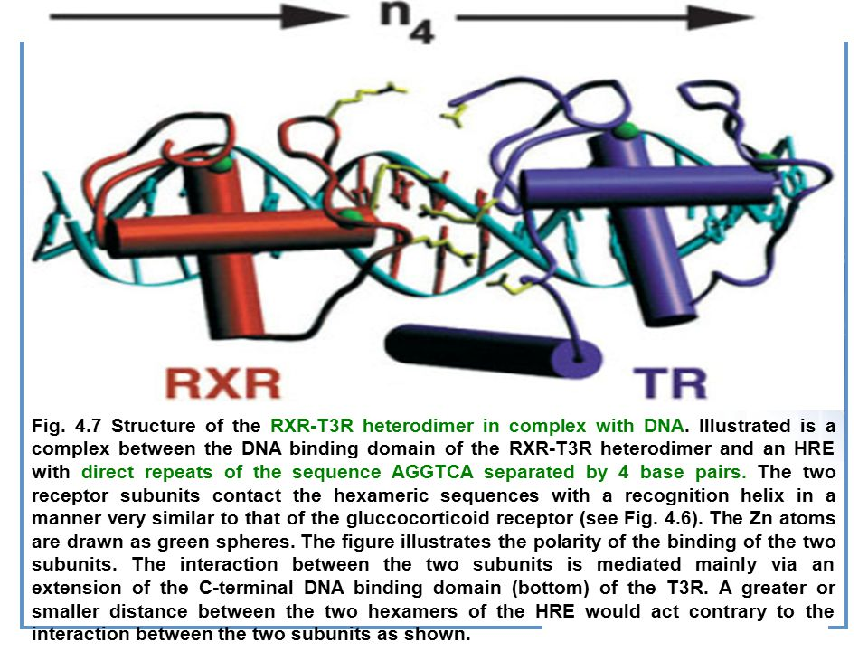 Fig. 4. 7 Structure of the RXR-T3R heterodimer in complex with DNA