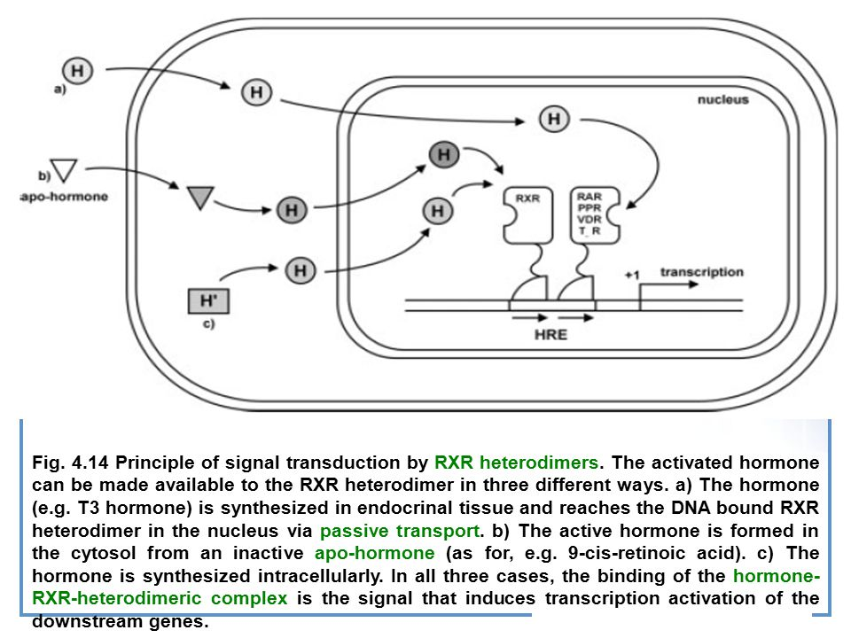 Fig. 4. 14 Principle of signal transduction by RXR heterodimers