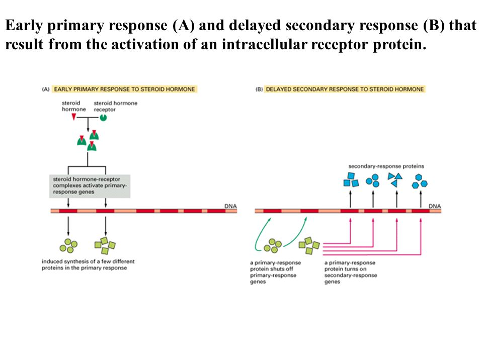 Early primary response (A) and delayed secondary response (B) that result from the activation of an intracellular receptor protein.