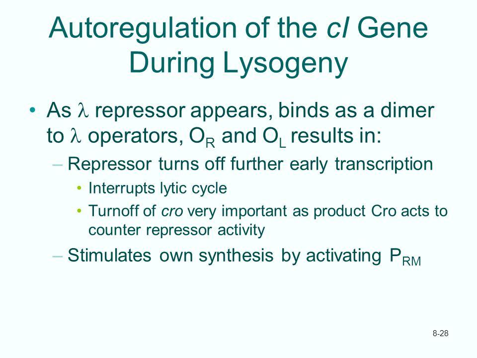 Autoregulation of the cI Gene During Lysogeny