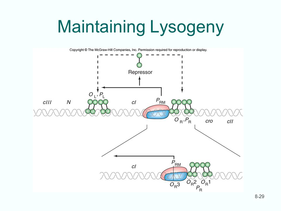 Maintaining Lysogeny