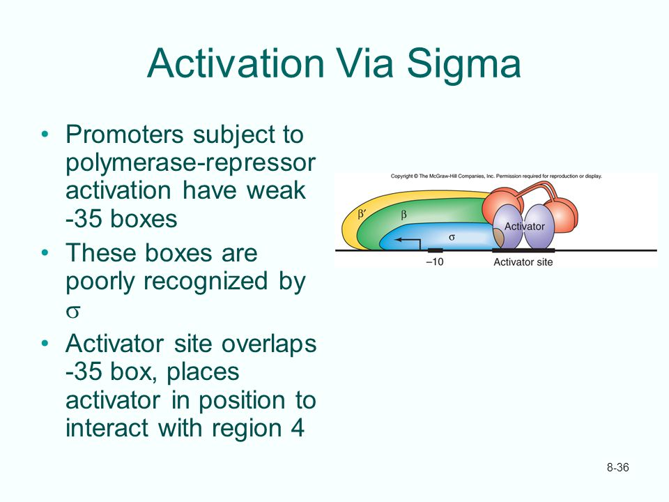 Activation Via Sigma Promoters subject to polymerase-repressor activation have weak -35 boxes. These boxes are poorly recognized by s.