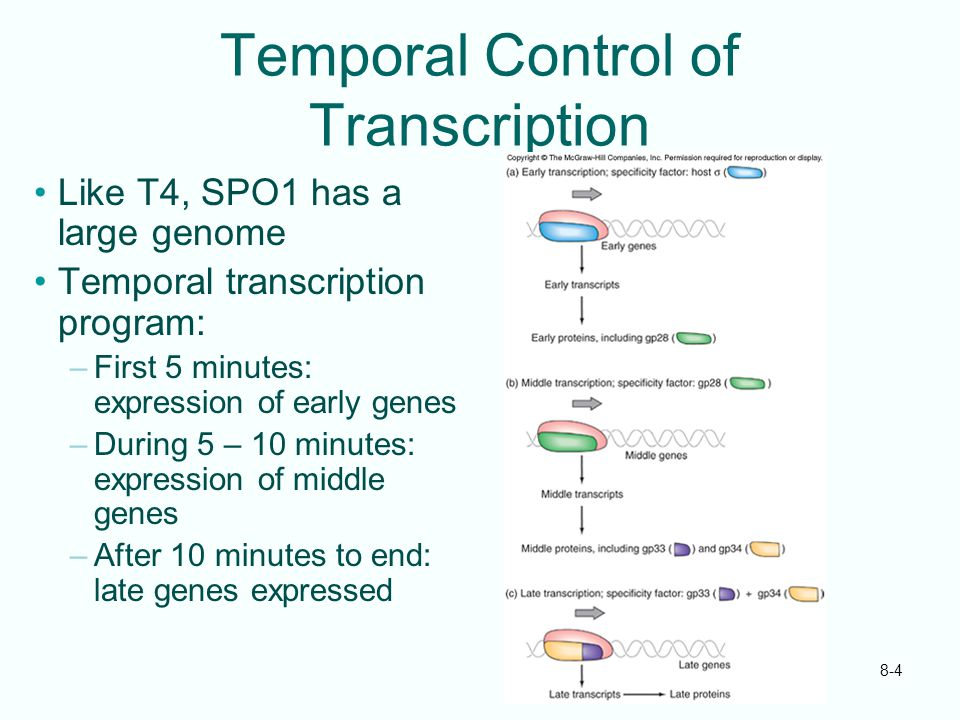 Temporal Control of Transcription