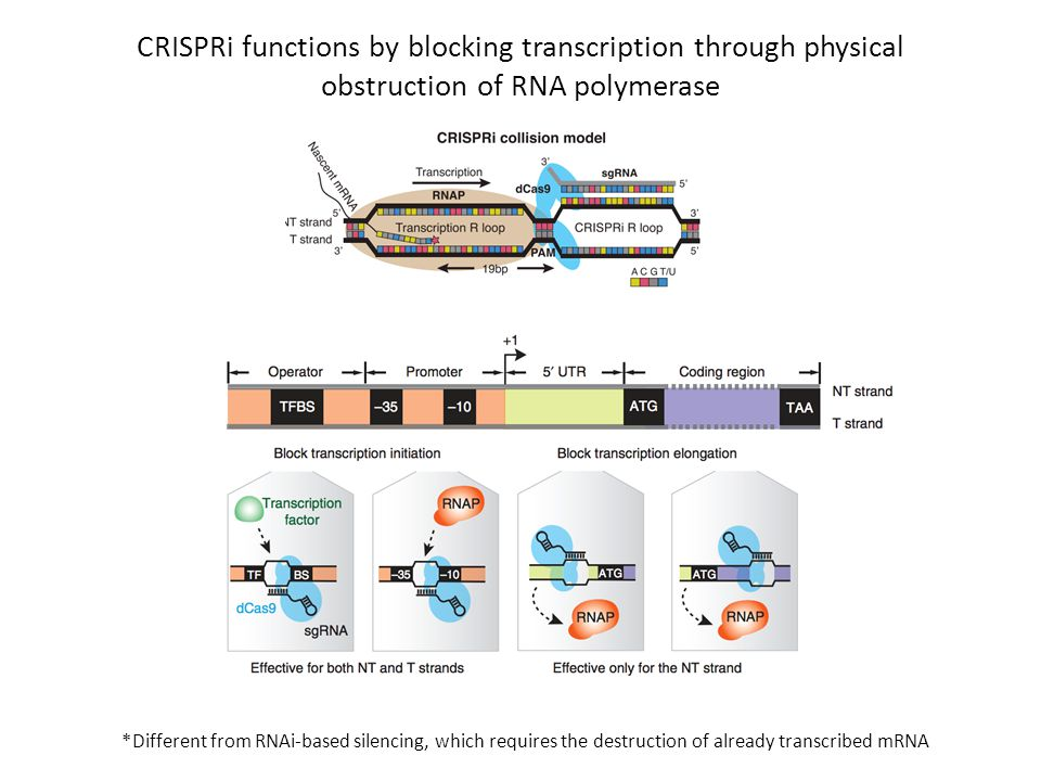 CRISPRi functions by blocking transcription through physical obstruction of RNA polymerase