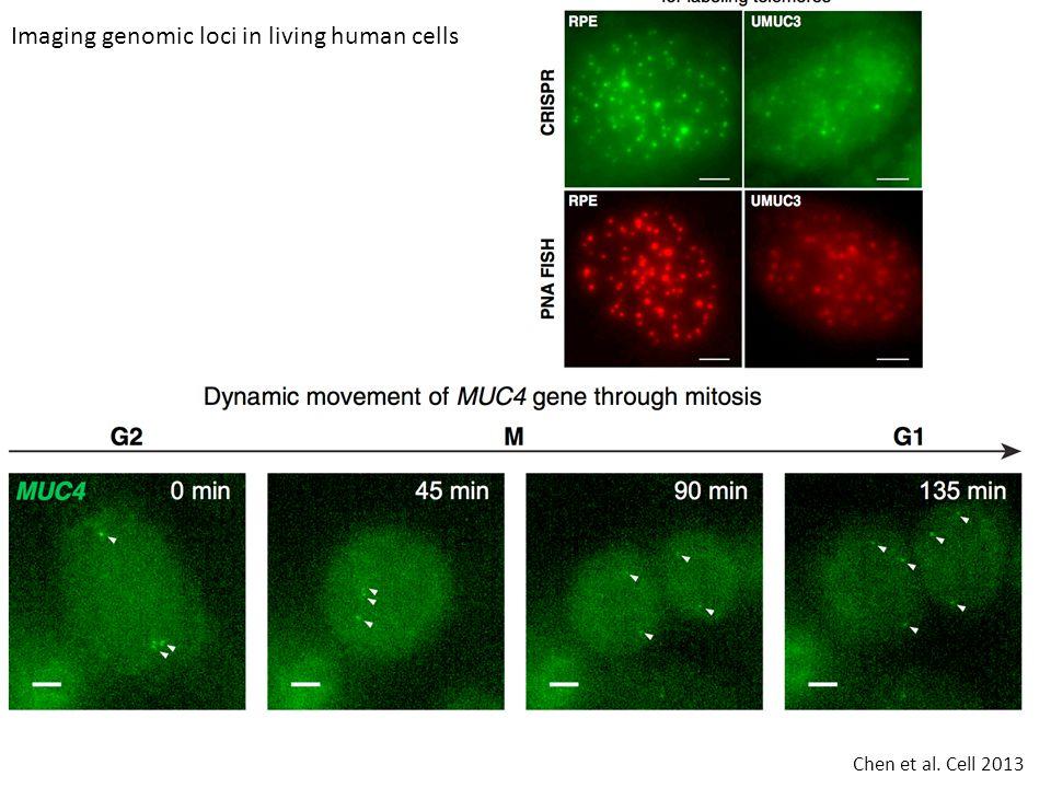 Imaging genomic loci in living human cells