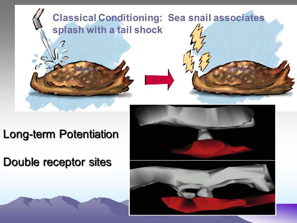 Long-term Potentiation Double receptor sites