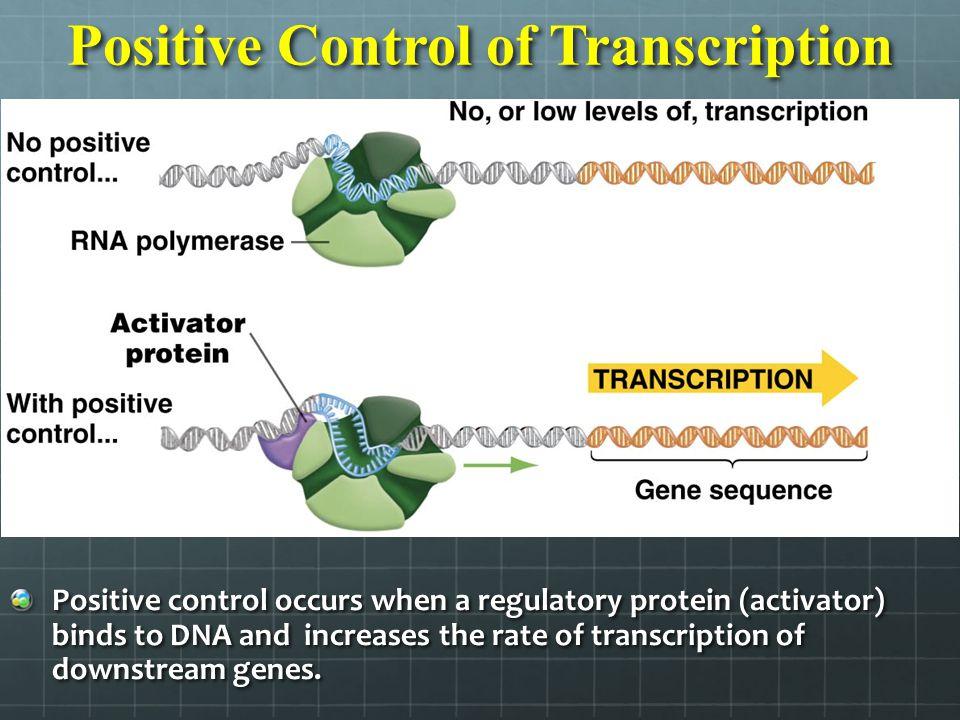 Positive Control of Transcription