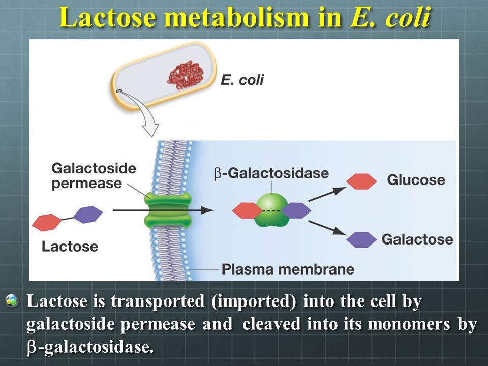 Lactose metabolism in E. coli